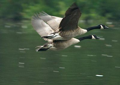 SwanLakeGoosePair
